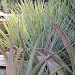 Aloes, Agaves